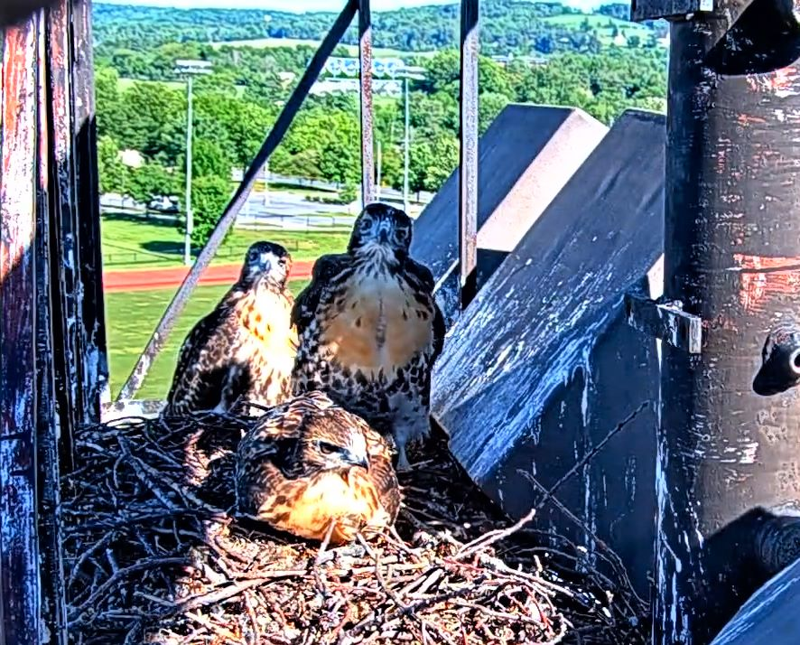 June 14.  Double Fledge.  J3 goes first at 8:46, 46 days old.  J1 goes two hours later, 50 days old.