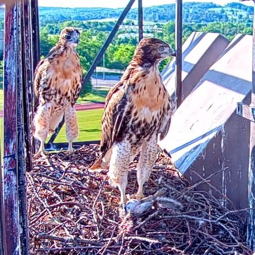 June 13           Fledge Watch continues